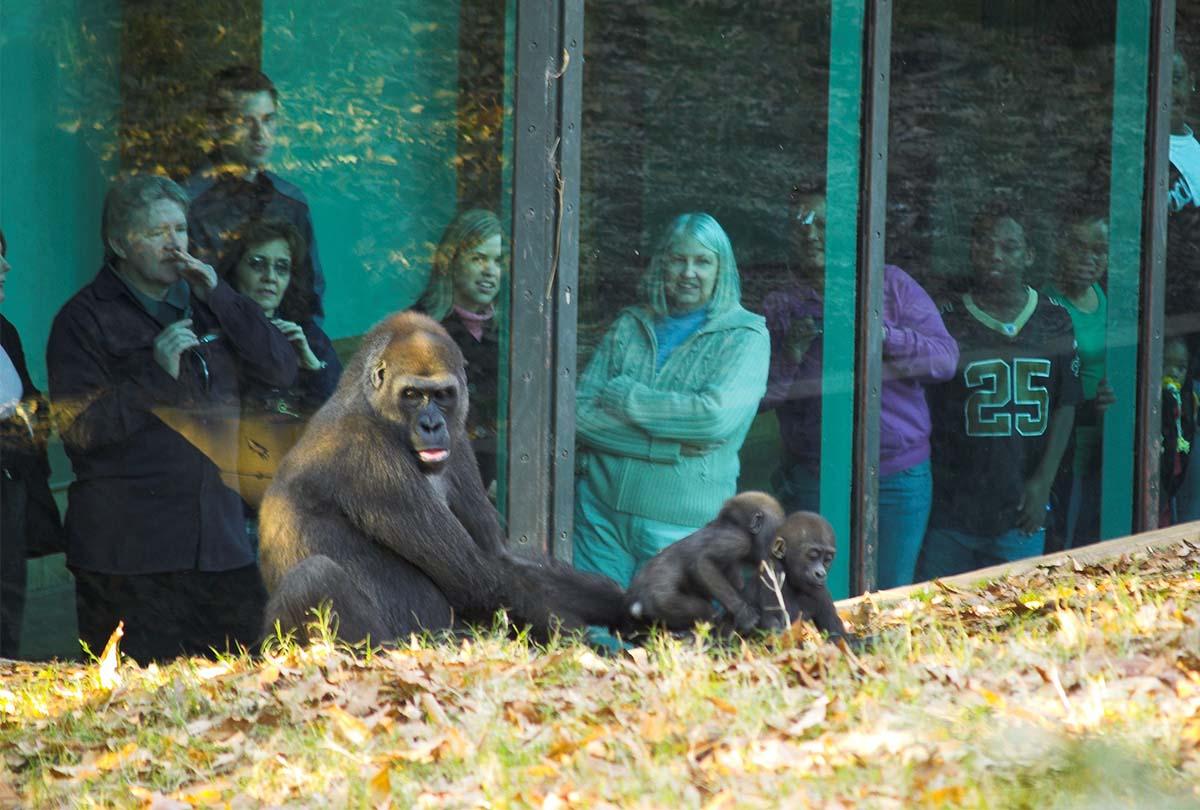 Zoo_Atlanta_Gorilla_8